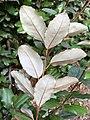 Elaeagnus x ebbingei at the Morris Arboretum 03.jpg