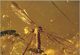 1869 in paleontology - Elephantomyia longirostris