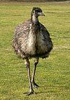 Emu chick 1.jpg