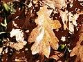 English Oak (Quercus robur) autumn leaf (8260043455).jpg