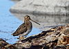 Enkeltbekkasin - Common Snipe (Gallinago gallinago) from Lista, Norway.JPG