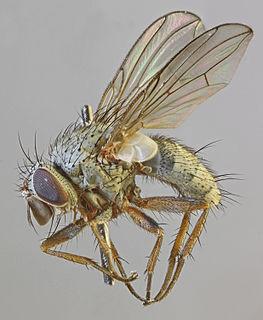 <i>Entomophaga nigrohalterata</i>