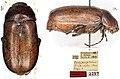 Entypophana biapicata (10.3897-zookeys.814.32059) Figure 1.jpg