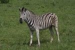 Equus quagga (xndr).jpg