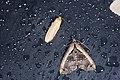 Erebidae (34884176173).jpg