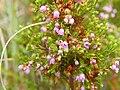 Erica mauritanica flowers.jpg