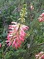 Ericales - Erica caffra 2.jpg