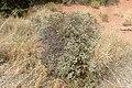Eriogonum corymbosum kz18.jpg