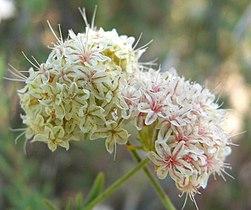 Eriogonum fasciculatum flowers.jpg