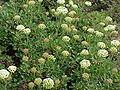 Eriogonum umbellatum3.jpg