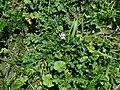 Erodium cicutarium 2019-04-18 1216.jpg