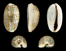 Two shells of Erronea errones, with and without brown blotch