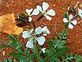 Eruca versicaria FlowersCloseup 12April2009 CampodeCalatrava.jpg