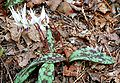 Erythronium dens-canis ENBLA09.jpg