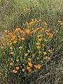 Eschscholzia californica 6 2018-05-06.jpg