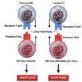 Esquema del procés d'apoptosis normal a nivell cel·lular.png