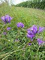 Estialesq (Pyr-Atl, Fr) paysage aux fleurs des champs.JPG