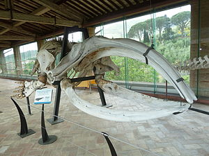 North Atlantic right whale - Skeleton specimen exhibited in Museo di storia naturale e del territorio dell'Università di Pisa
