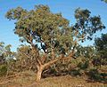 Eucalyptus coolibah ssp arida.jpg
