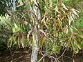 Eucalyptus fasciculosa.JPG