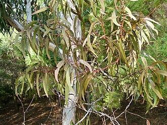 Eucalyptus fasciculosa - Eucalyptus fasciculosa in Jardin botanique Barcelone