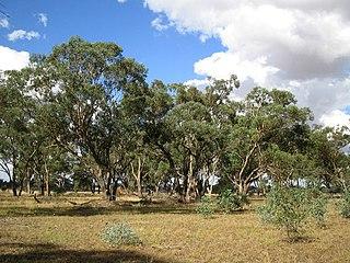 <i>Eucalyptus microcarpa</i> species of tree
