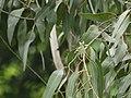 Eucalyptus tereticornis (3780988001).jpg