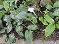 Eucharis amazonica - Palmengarten Frankfurt - DSC02029.JPG