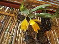 Euchile aff. citrina (1).jpg