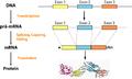 Eukariotische Genexpression.png