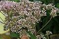 Eupatorium purpureum maculatum Gateway 1zz.jpg