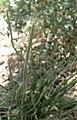 Euphorbia antisyphilitica kz1.jpg