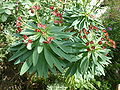 Euphorbia atropurpurea (Euphorbiaceae) flowers and leaves.jpg