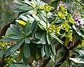Euphorbia bourgeana01.jpg