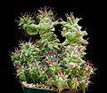 Euphorbia horrida monstrosa1 ies.jpg