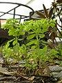 Euphorbia peplus (7914481134).jpg