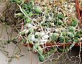 Euphorbia stapeliodes - RSA 5.jpg
