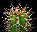 Euphorbia virosa 2 ies.jpg