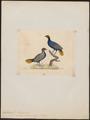 Euplocomus erythrophthalmus - 1820-1860 - Print - Iconographia Zoologica - Special Collections University of Amsterdam - UBA01 IZ16900284.tif