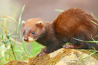 Erythrism - A erythristic Welsh polecat