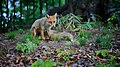 Ezo red fox. (49944469253).jpg