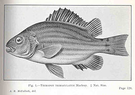 FMIB 36128 Therapon trimaculatus.jpeg