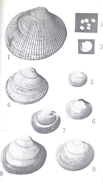 File:FMIB 47726 Features in the Life History of the Ribbed Clam (Paphia staminea).jpeg