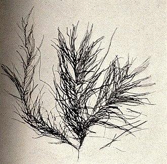 Augusta Foote Arnold - Image: FMIB 52410 Enteromorpha compressa