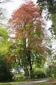 Fagus sylvatica 'Purpurea' JPG3a.jpg