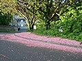 Fallen cherry blossom on Bedford Road, Oughtibridge, South Yorkshire.jpg