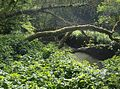 Fallen trees in Nunney Combe - geograph.org.uk - 440648.jpg
