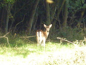 Hatfield Forest - Fallow deer at Hatfield Forest
