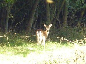 Hatfield Forest - Fallow deer at Hatfield Forest