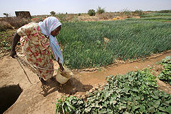 Farmer irrigating crops in North Darfur